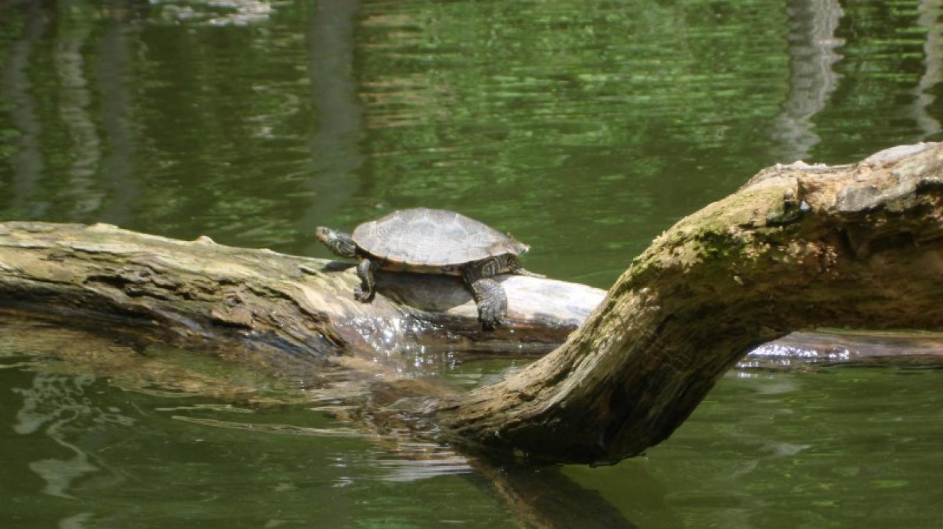 One of the many Stacy Brook turtles. – Courtesy of Cathy Frank