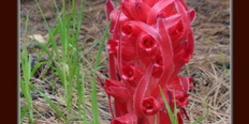 Snow Plant – Gay Abarbanell