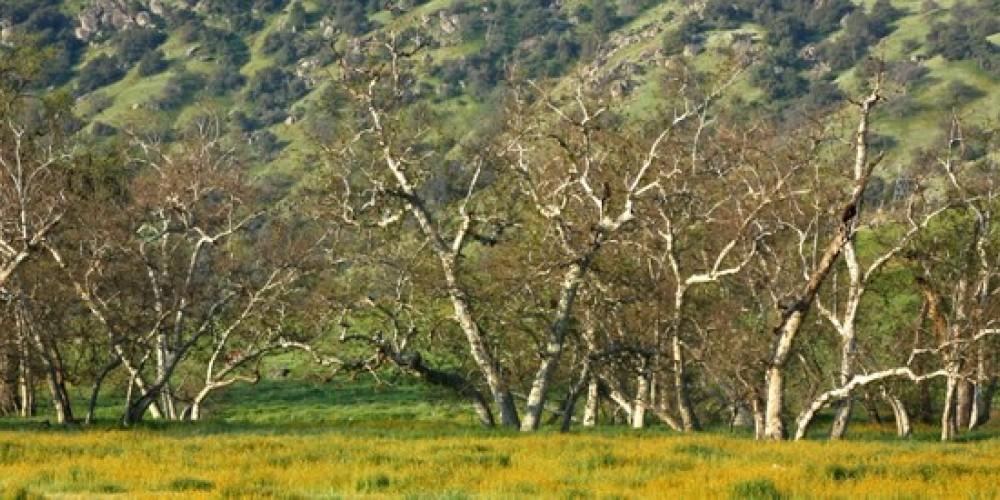Row of sycamores at Dry Creek Preserve – John Greening
