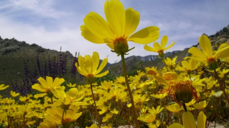 Coreopsis in Short Canyon – Shelley Ellis