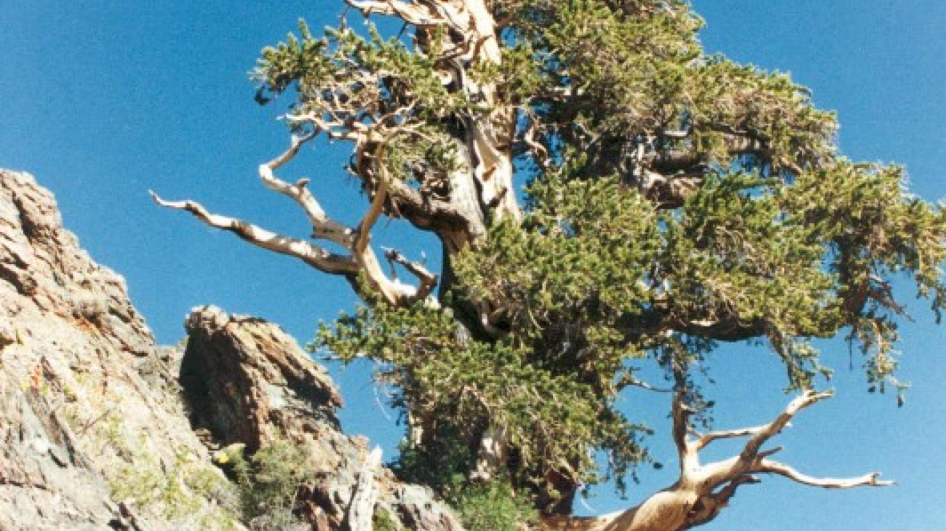 A bristlecone pine growing from a rocky cliff side along the byway. – Public Domain