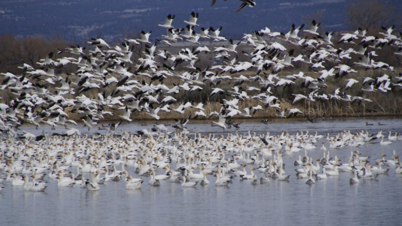 Snow Geese on the refuge – Lorissa Soriano