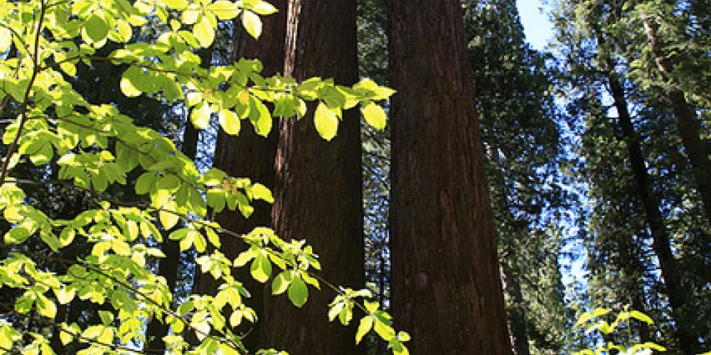Sequoias above Dogwood – Ray Anderson