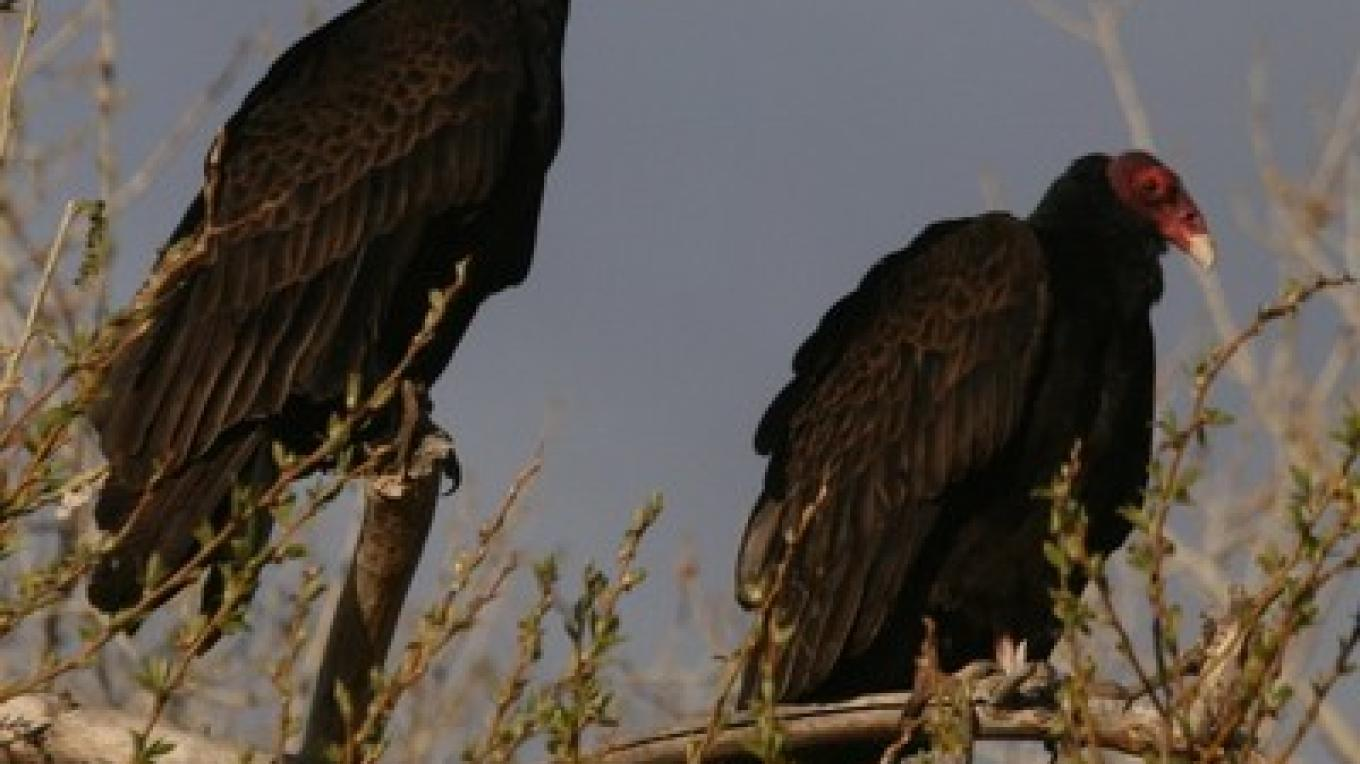 Two of the thousands of Turkey Vultures that migrate through the Kern River Valley from September through October – Alison Sheehey