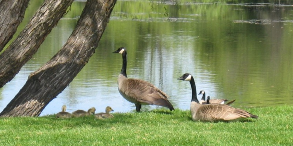 Goslings by the lake. – Leslie Sellman-Sant