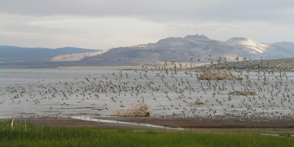 A flock of Wilson\'s Phalaropes along the shore of Mono Lake. – Bartshe Miller