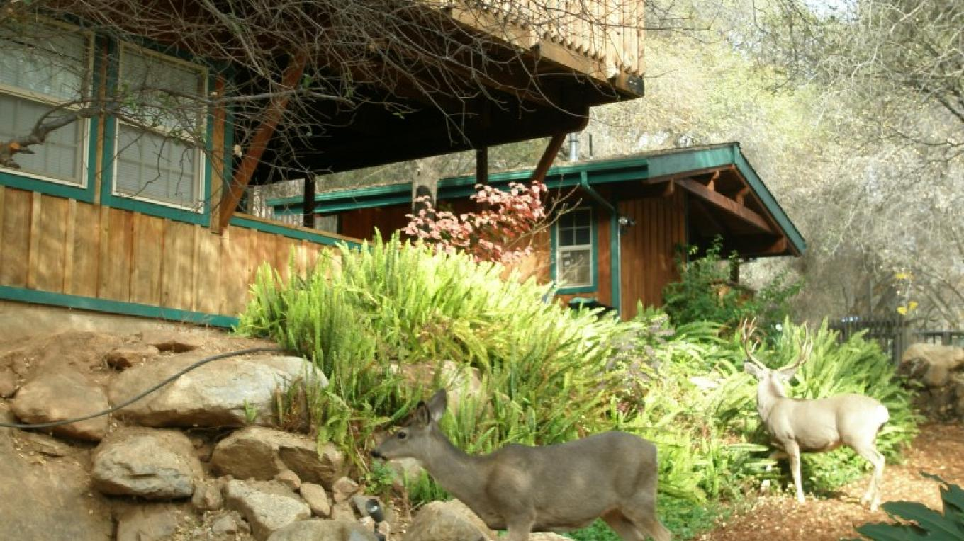 A pair of Mule Deer hanging out in front of Glacier Chalet.
