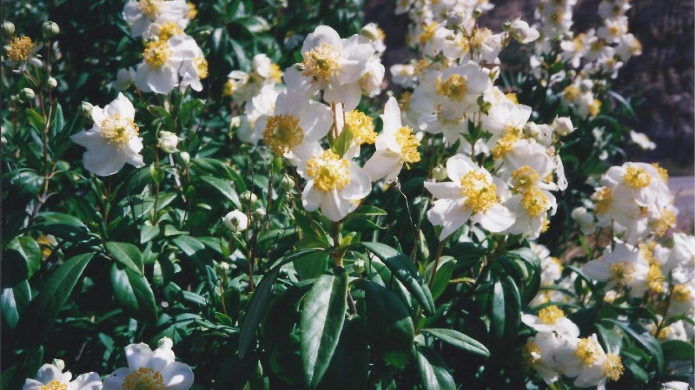 Carpenteria californica is one of California's rarest shrubs, found only in foothills of eastern Fresno and Madera counties. It can be seen flowering from April through June. – Judith Preuss