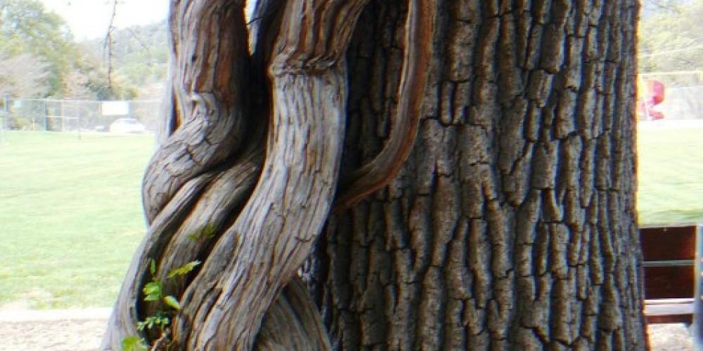 Water oak and wisteria – Susan Leeper