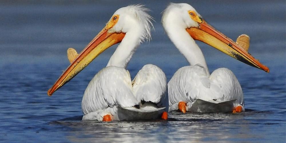 Springs Pelicans – Jim Duckworth