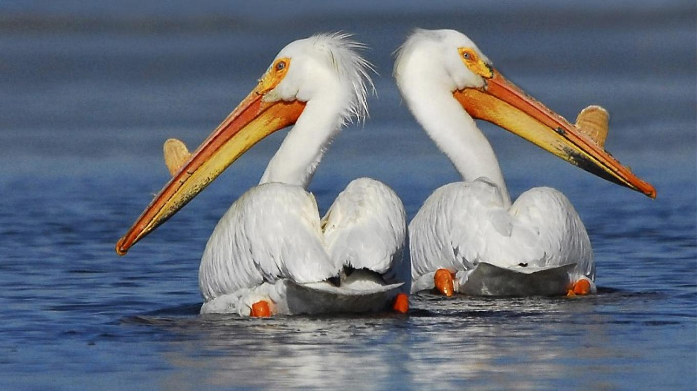Springs Pelicans – Jim Duckworth
