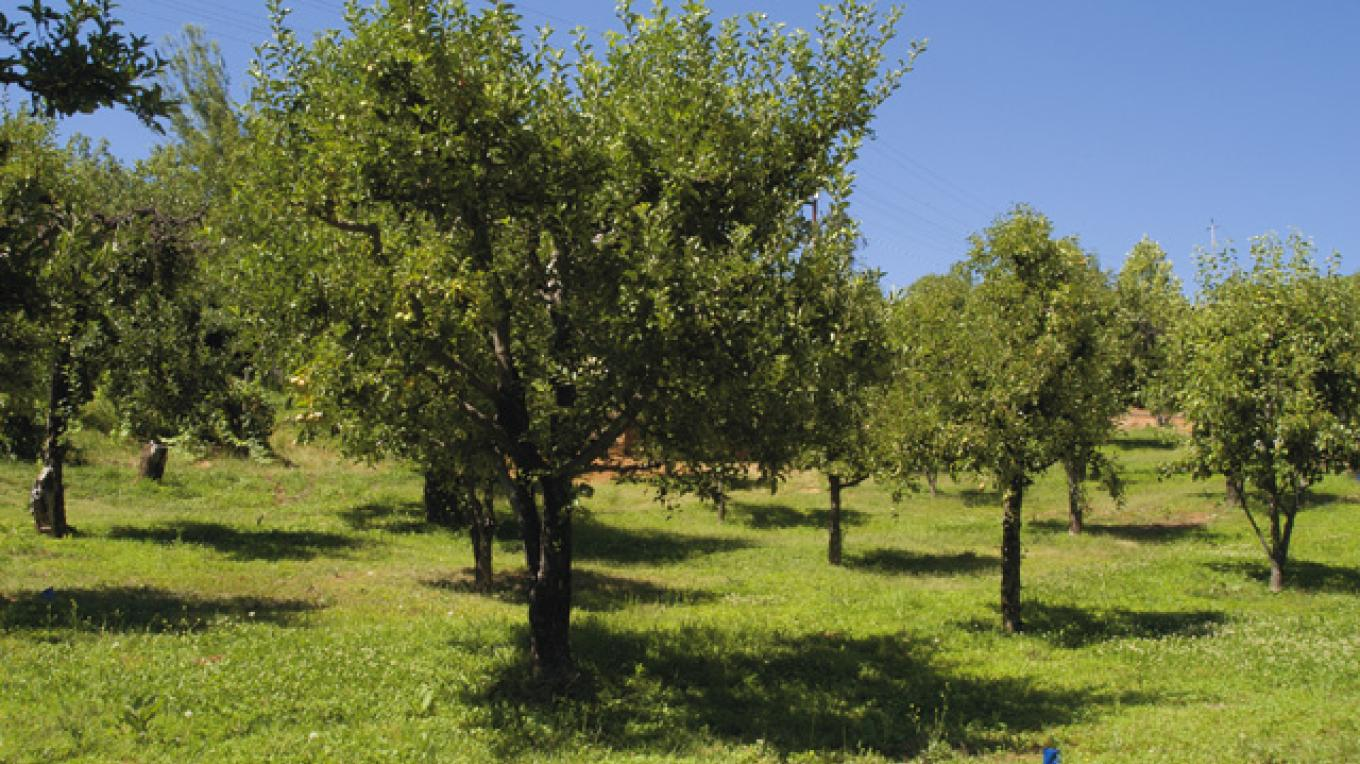 Pear and Apple Orchard at Boeger Winery