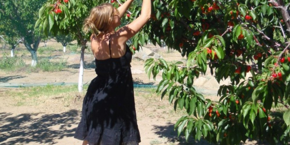 Volunteer picking produce for Sierra Bounty Produce Collective – Kathleen Hilimire