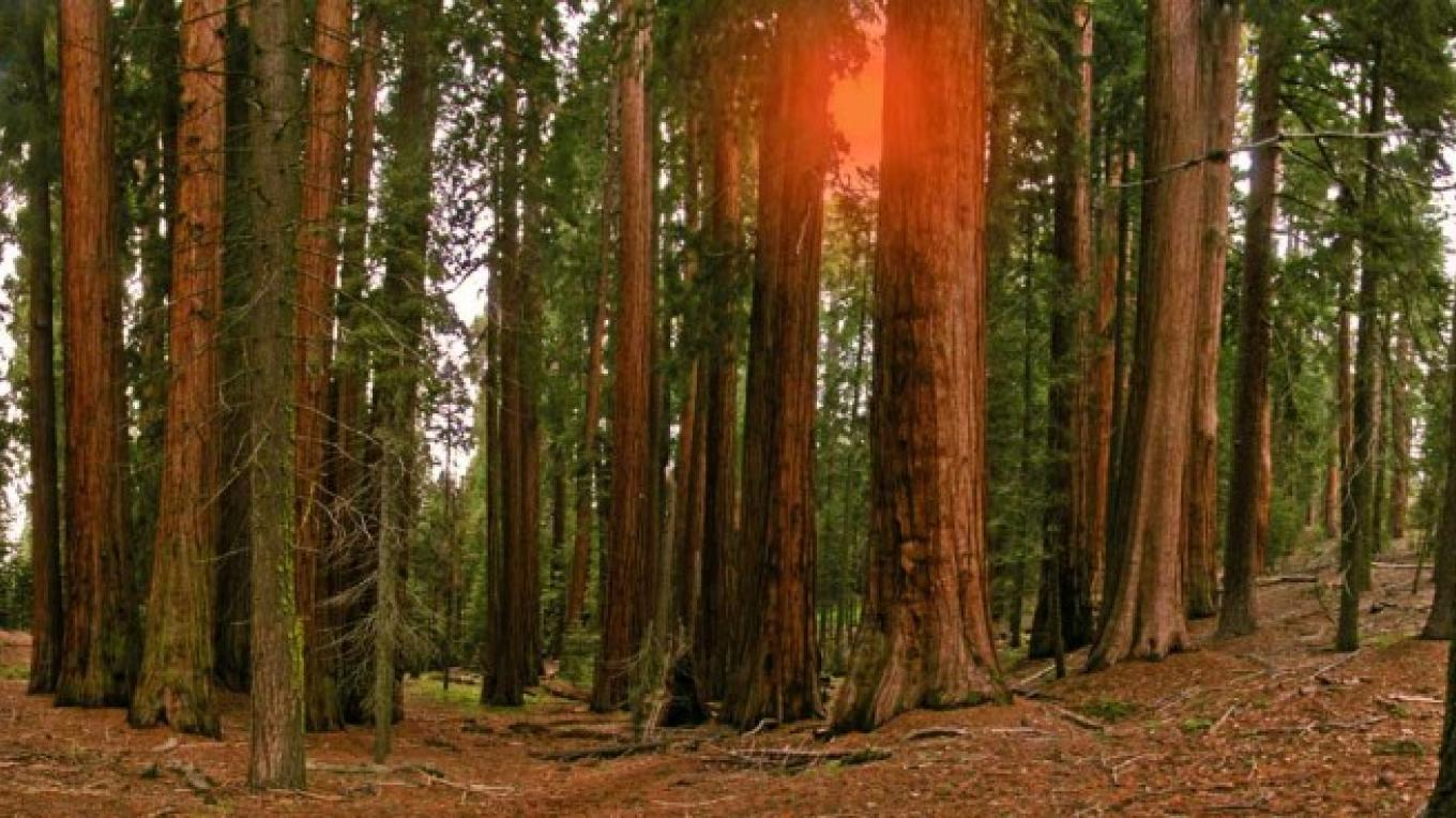 The Sugar Bowl Grove contains possibly the purest stands of sequoias in the world. – NPS/Rick Cain