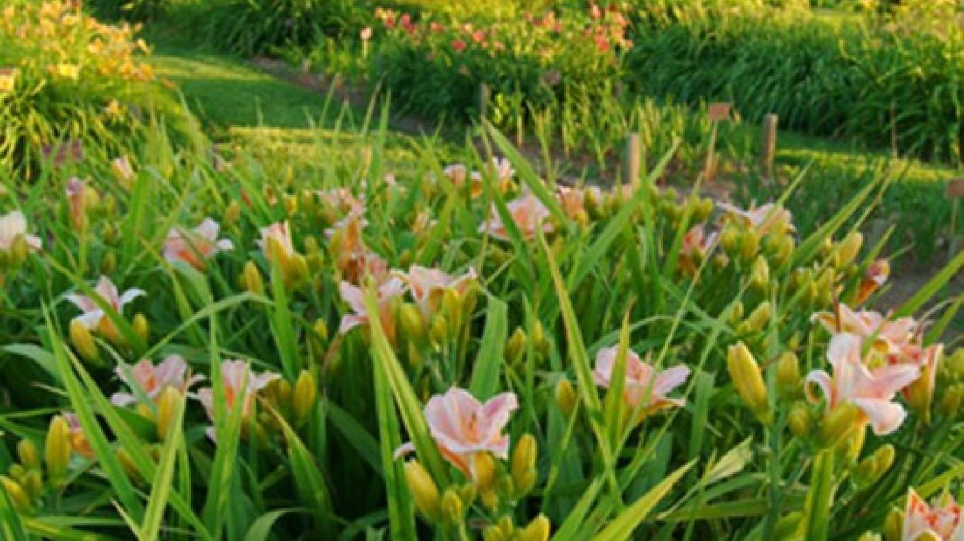 Dayliliy growing fields with heritage oaks. – Ron Schwager