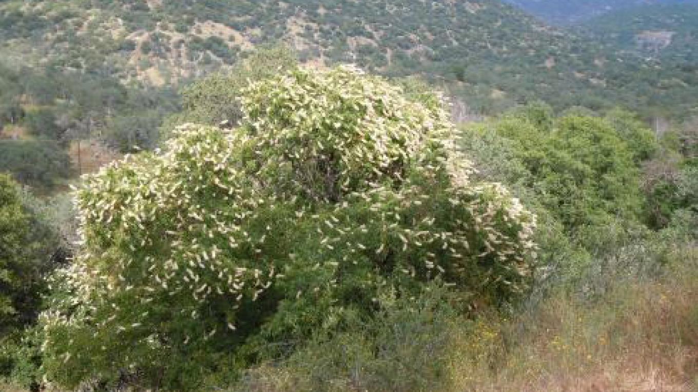 Cort Cottage Bed and Breakfast, buckeye tree in full bloom below cottage – Elsah Cort