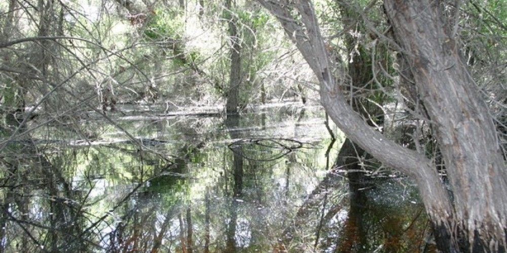 The flooded forest of the South Fork Wildlife area. – Alison Sheehey