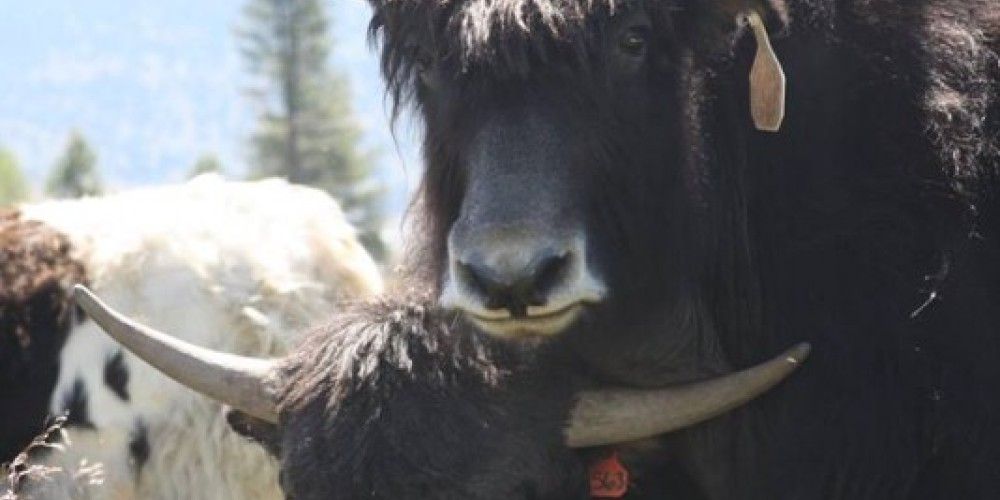 Sierra Valley Yaks raises domesticated yaks for high-quality meat and fiber. – Sierra Valley Yaks