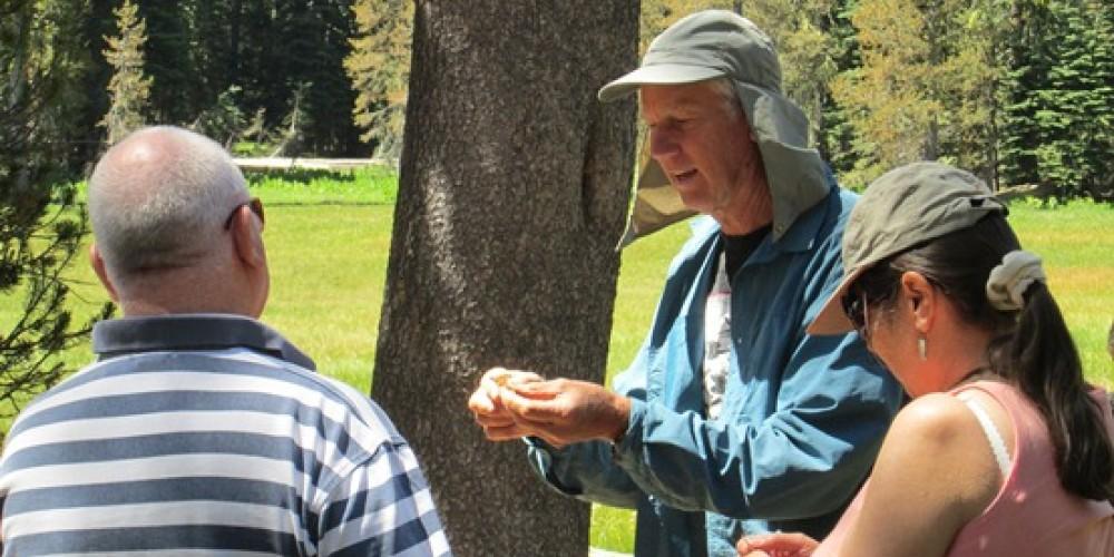 Close Up explanation of lodgepole pine tree identification.