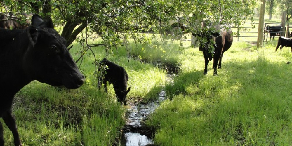 """""""Splendor in the Grass""""- The North Yuba Foothills provides lush green grass for cattle in the Springtime. – Jenny Cavaliere"""