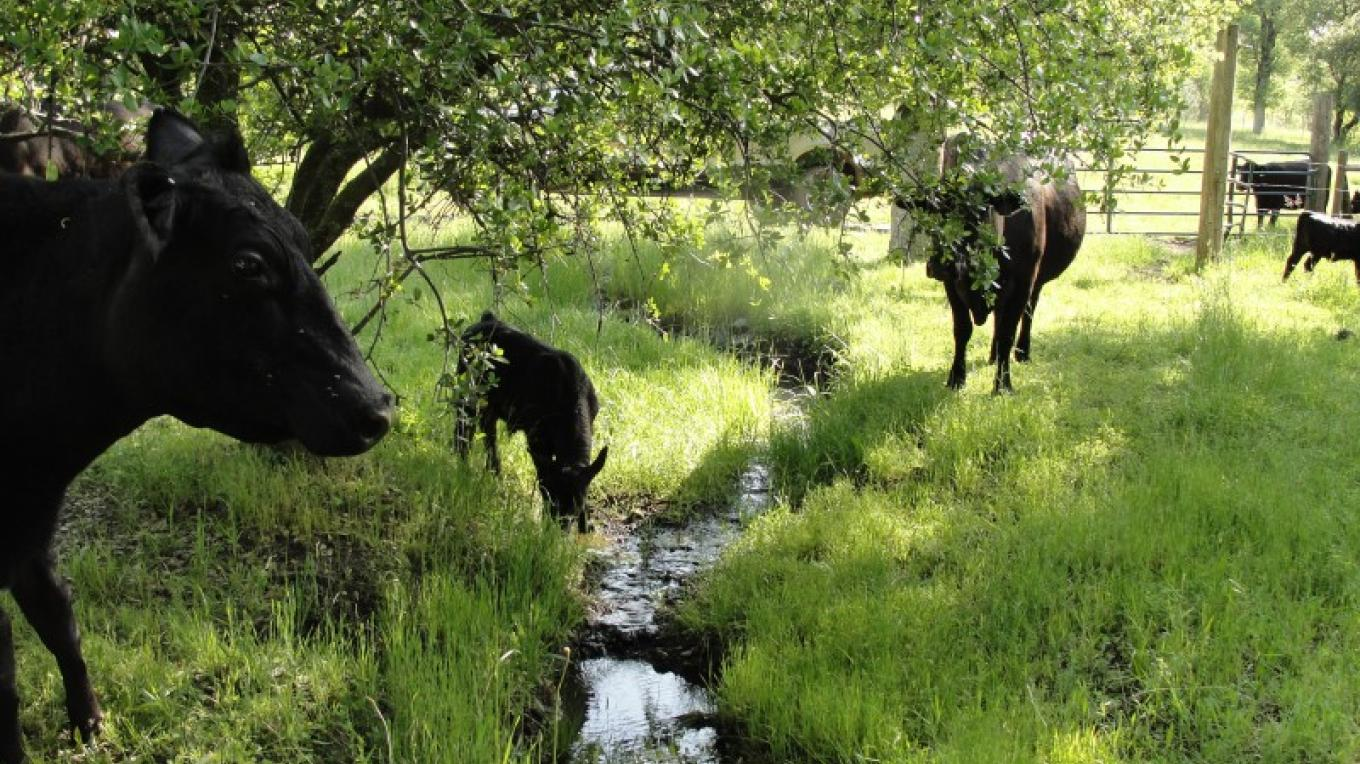 """Splendor in the Grass""- The North Yuba Foothills provides lush green grass for cattle in the Springtime. – Jenny Cavaliere"