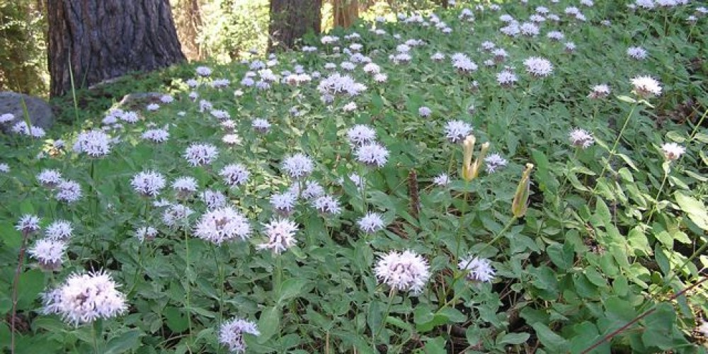 Many wildflowers species, such as Pennyroyal, can be seen along the route
