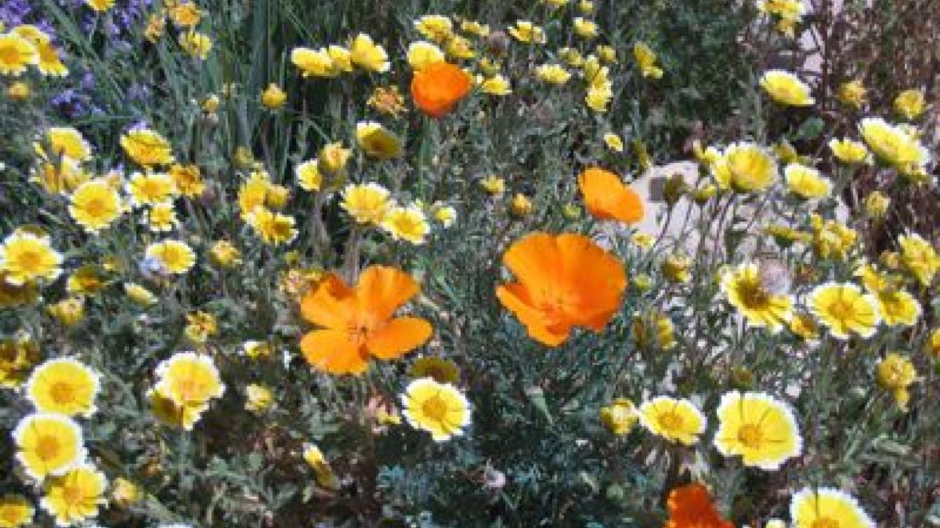 Tidy tips and California poppy (Layia platyglossa and Eschscholtzia californica), annual wildflowers in the garden, via the CNPS Grow Natives Blog – Laura Camp