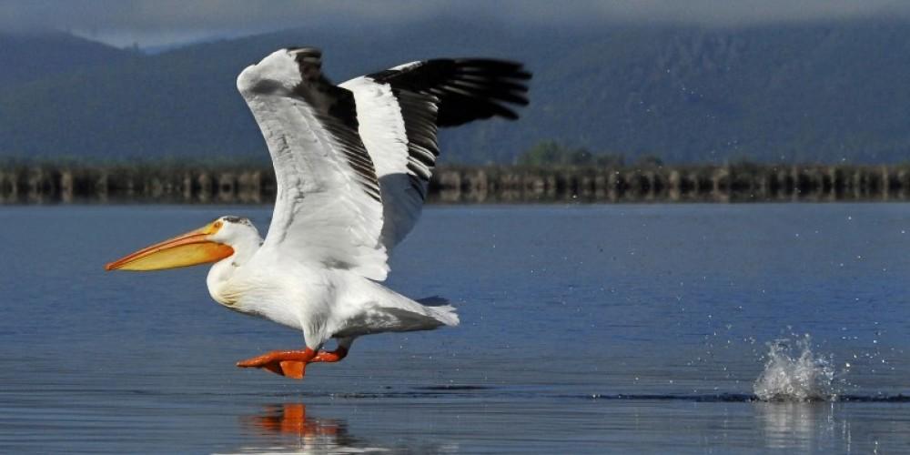 Lava Springs Pelican – Jim Duckworth