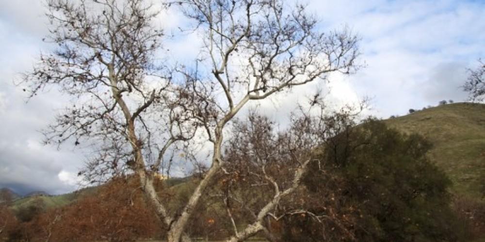 Single sycamore at Homer Ranch in the fall – John Greening