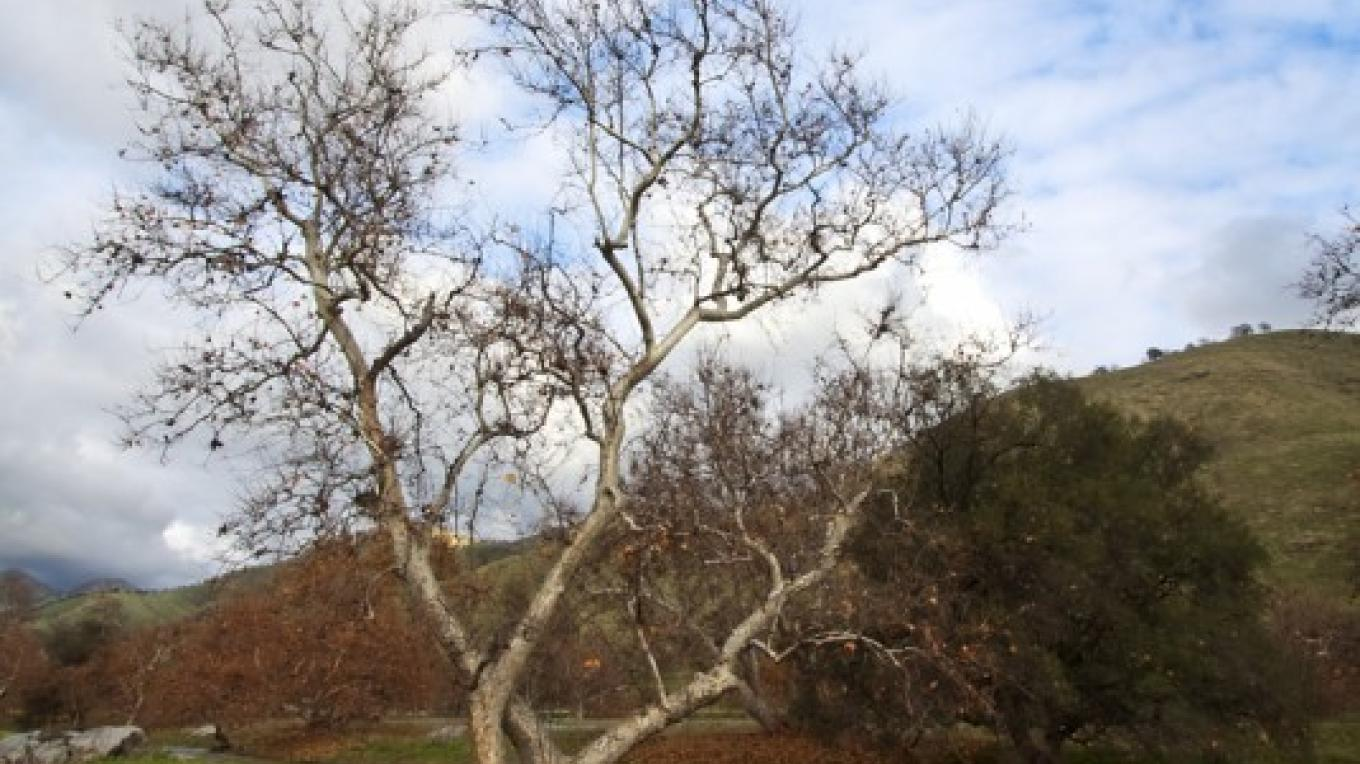 Single sycamore at Homer Ranch in the fall – John Greening