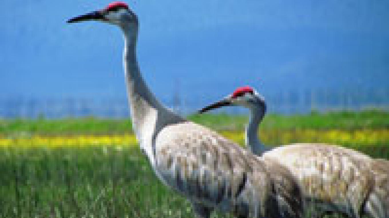 Sandhill Cranes at Maddalena Ranch – Michael Hofmayer