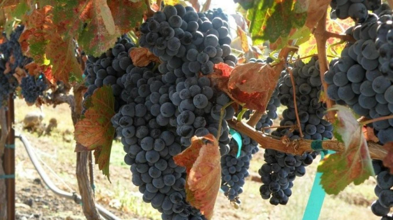 Grapes form vineyard