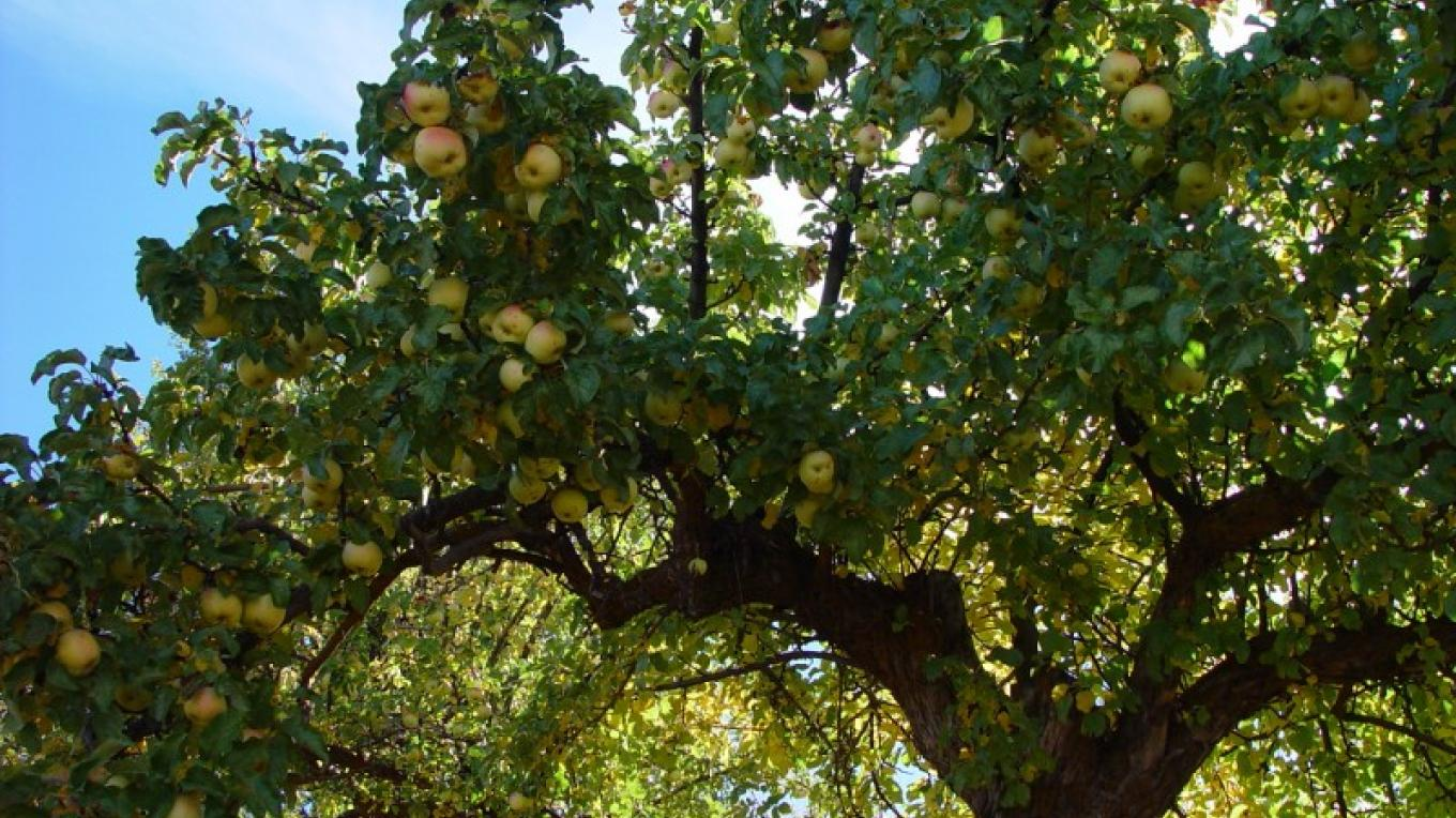 A hundred year old apple tree ready to be picked – Jean Bilodeaux