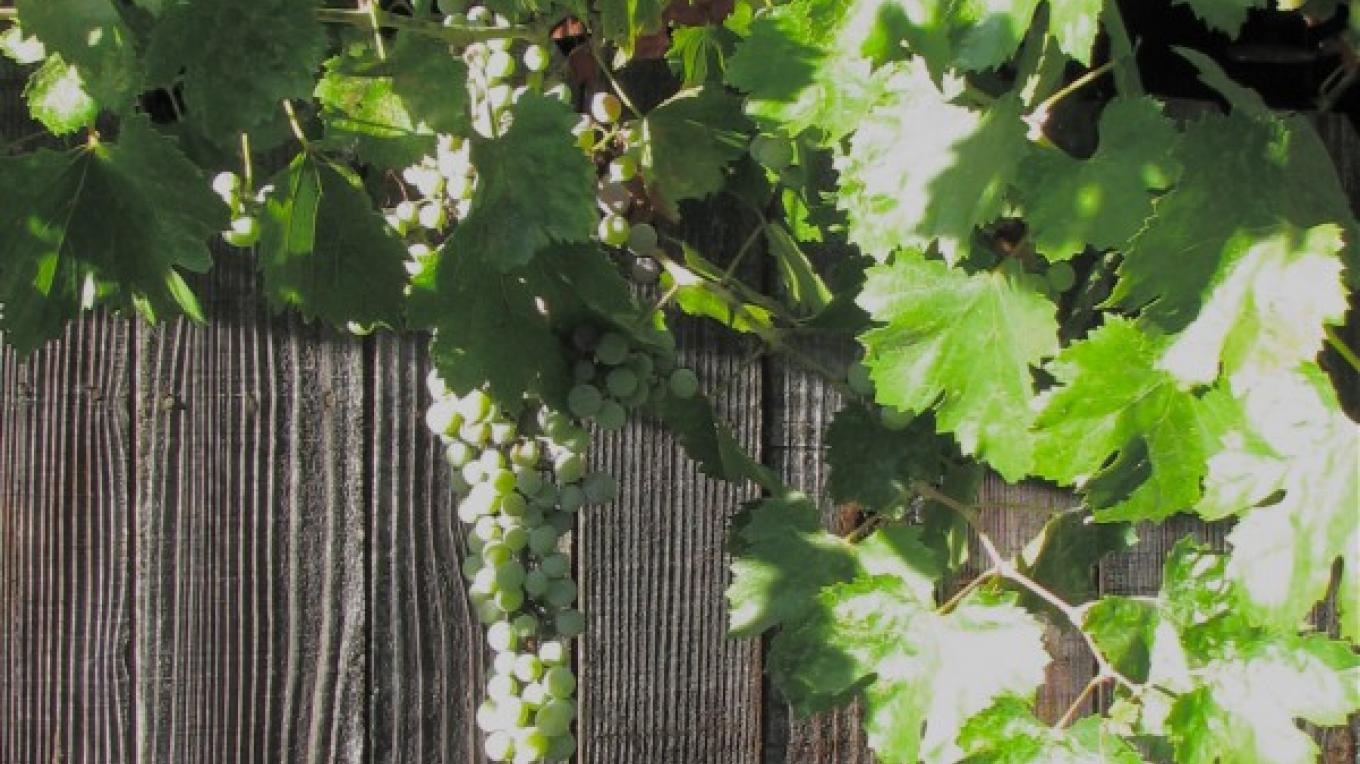 There are seasons when the Zinfandel grapes produce good home made wine. – Karrie Lindsay