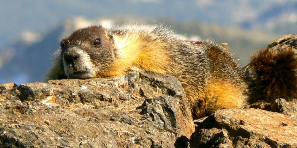 a marmot rests on the warm rocks – Michael Fish