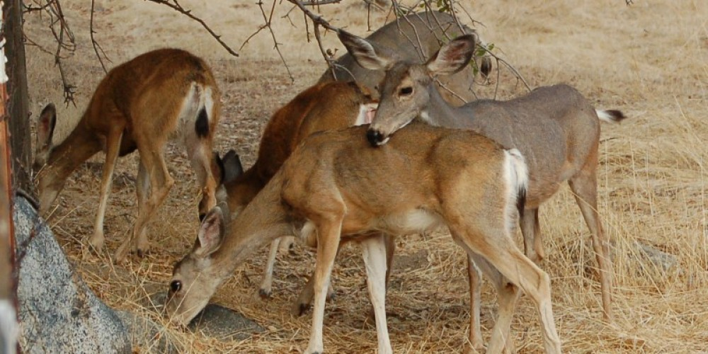 Mule Deer, Three Rivers, California – Tom Marshall
