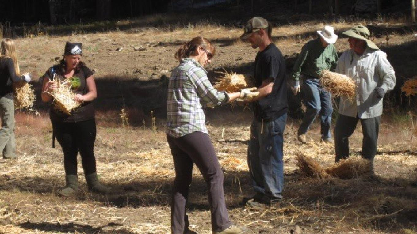 Volunteers spread woodstraw in Fiddler's Green, a meadow on the Stanislaus NF that CSERC volunteers and the Forest Service have collaborated to restore. – Megan Fiske