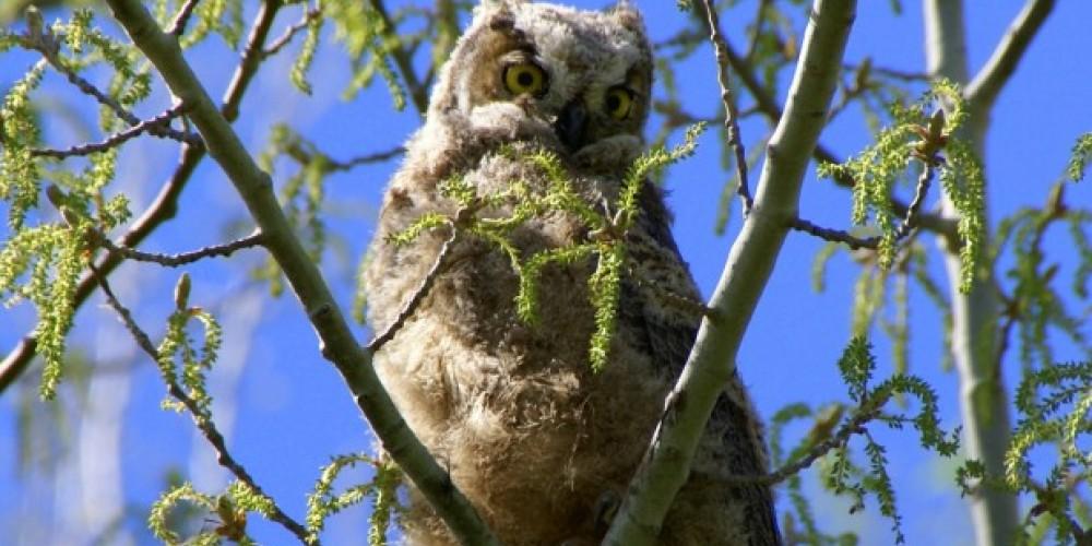 Youth Great Horned Owl – Lorissa Sorinao