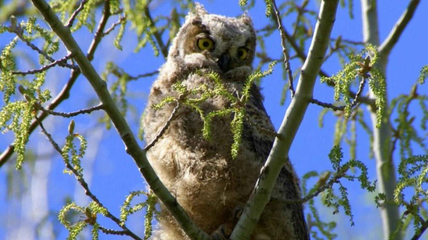 Youth Great Horned Owl – Lorissa Sorinao