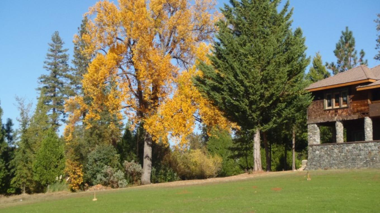 Tulip tree in autumn – David Wright