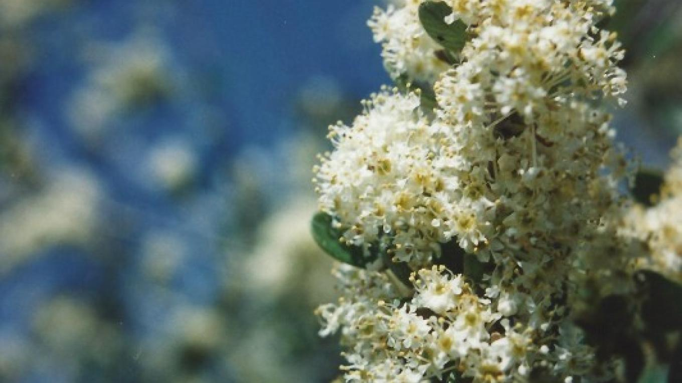 Buck Brush - Ceanothus cuneatus. A large lilac-looking bush with tiny cream-colored starlike blossoms. – Judith Preuss