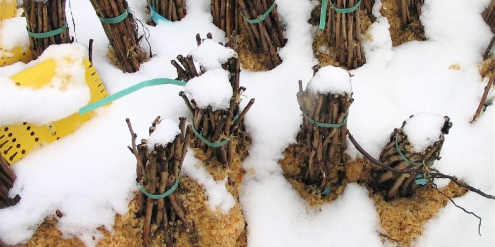 Bare root bundles of cane berries (raspberries, blackberries, boysenberries & such) lay dormant under a blanket of snow in the Peaceful Valley nursery. – Stephanie Brown