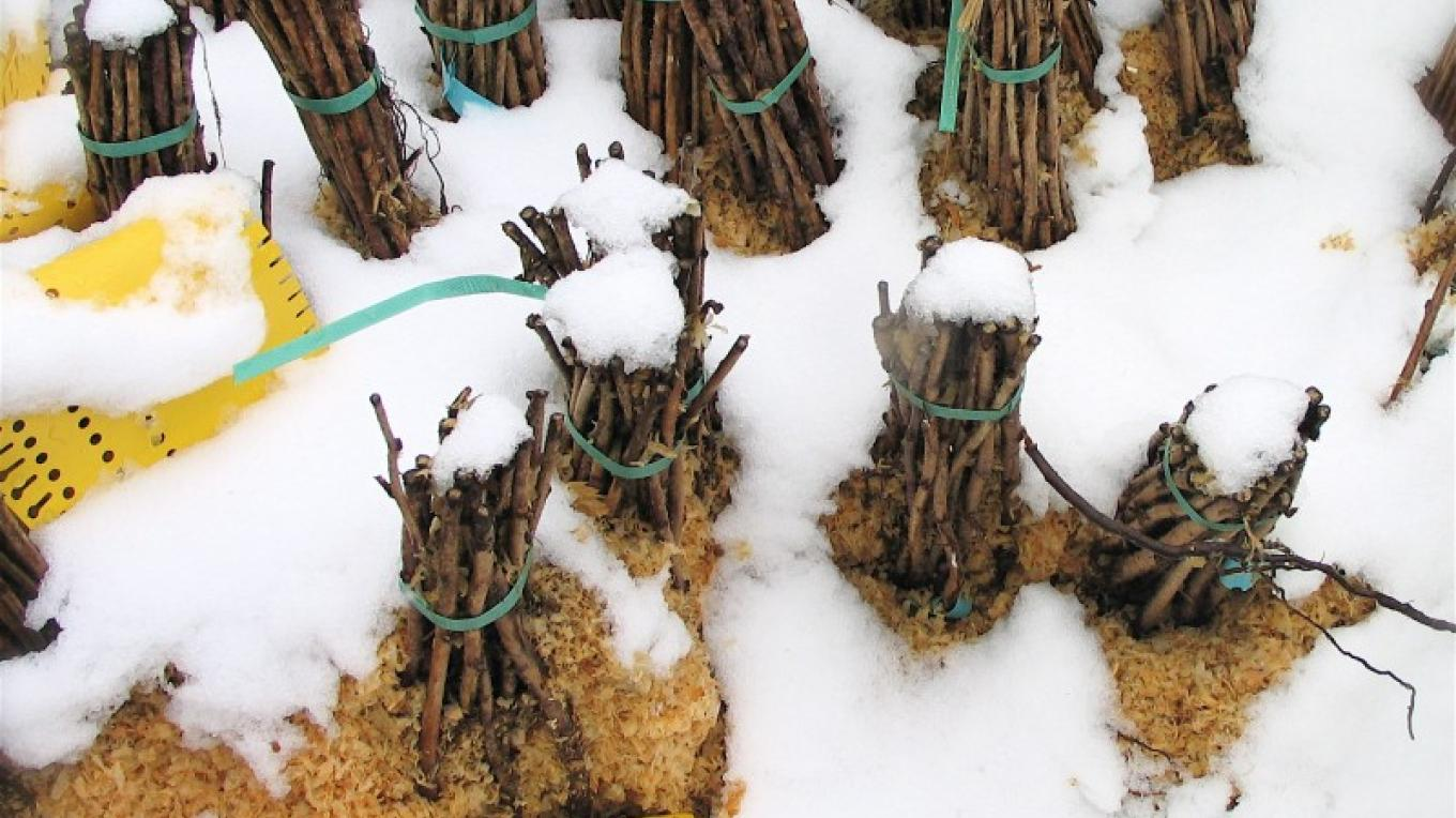 Bare root bundles of cane berries (raspberries, blackberries, boysenberries & such) lay dormant under a blanket of snow in the Peaceful Valley nursery. – Stephanie Brown
