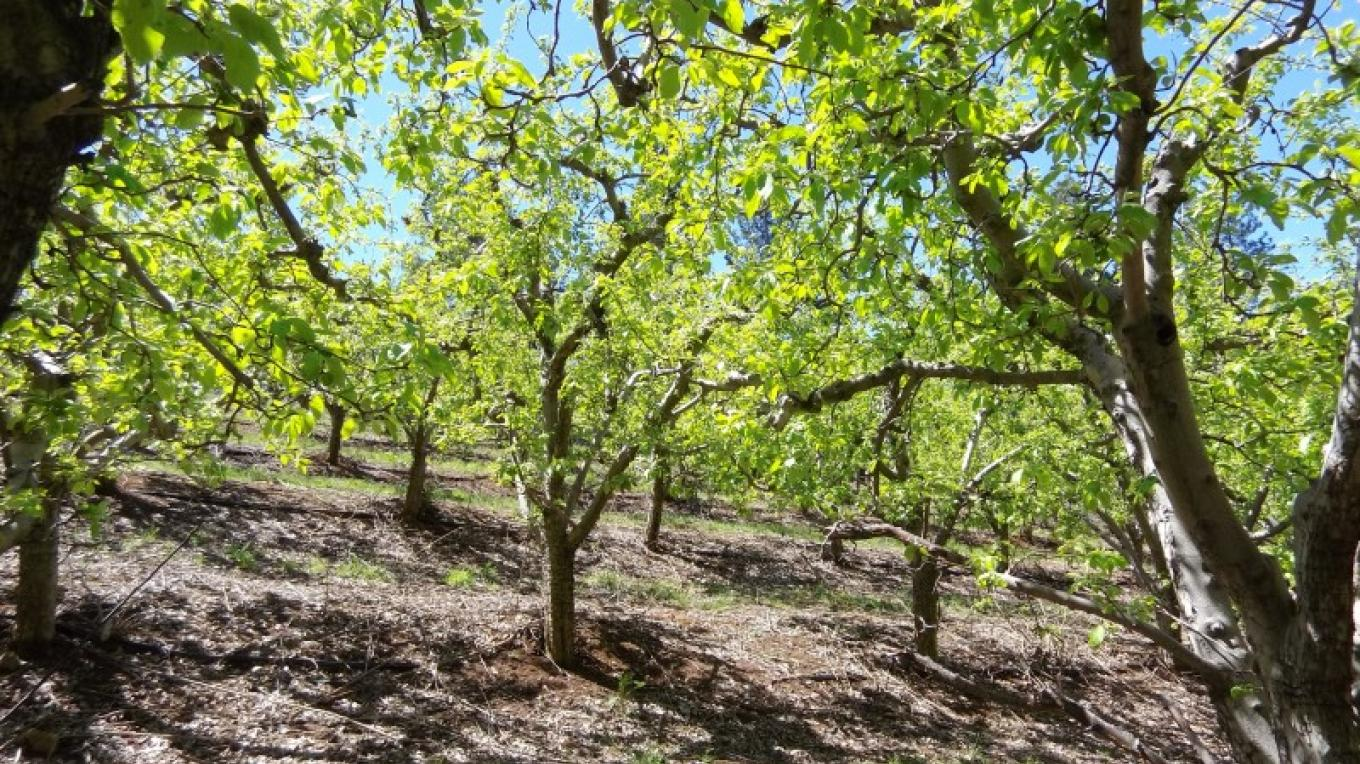 Apple Orchard – Bonnie Kelley