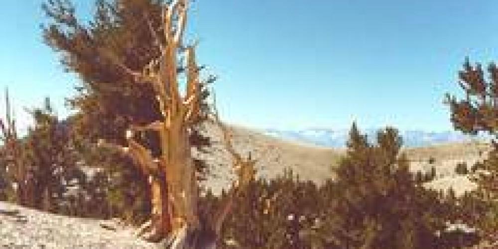 Bristlecone Pines – Public Domain