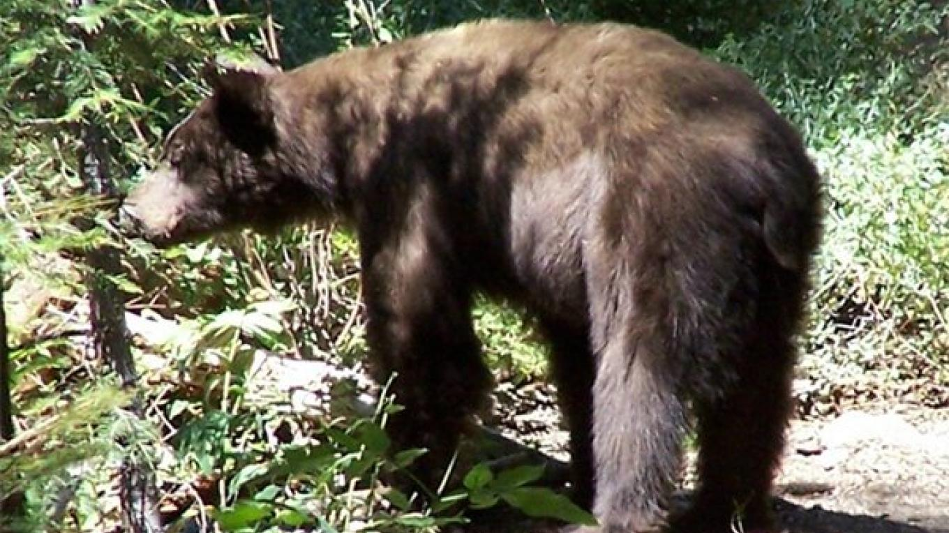 Supporting Black Bear Protection