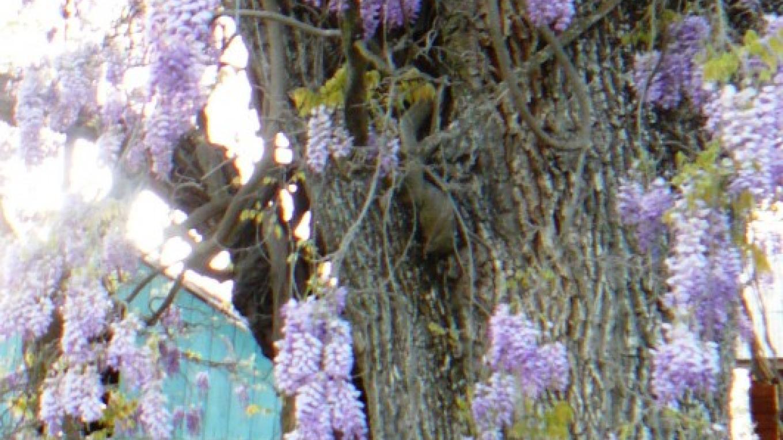 Blue Oak and Wisteria – Susan Leeper