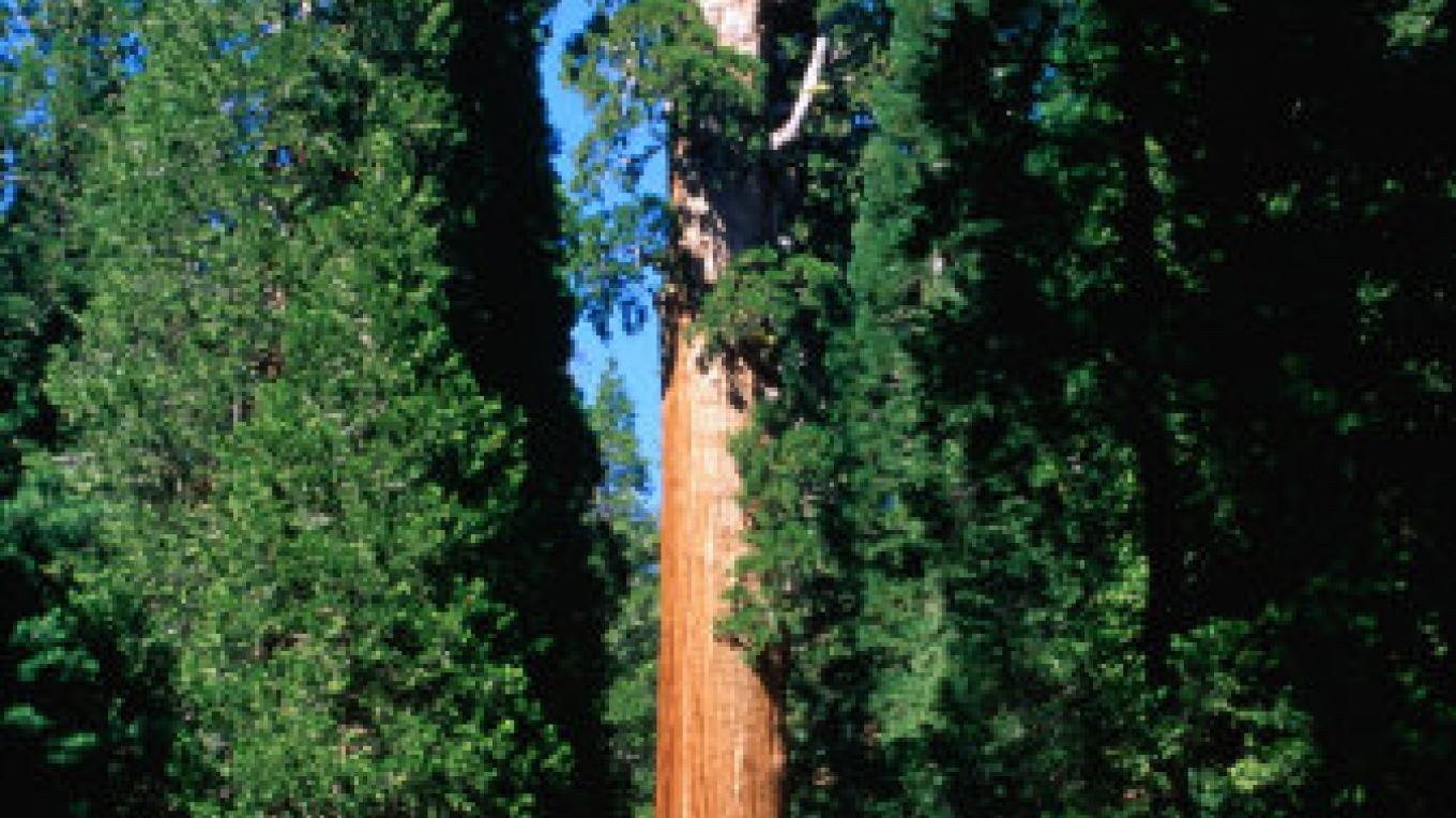 A Nearby Sequoia Tree grove
