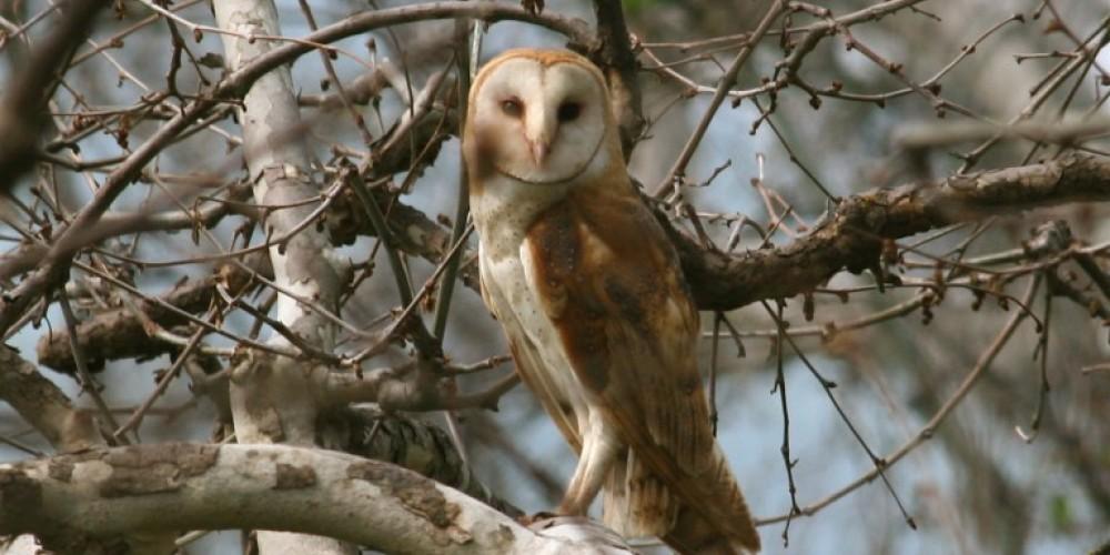 Barn Owl – Dofflemyer