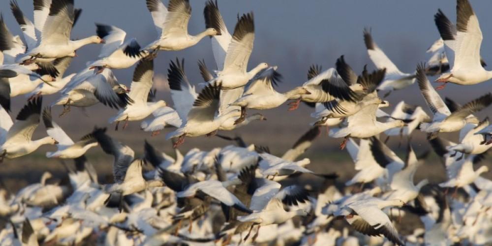 Snow Geese – Mike Peters